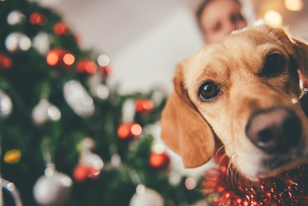 dog with owner and holiday tree
